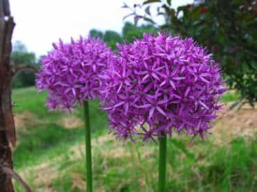 'Globemaster' Tall Allium