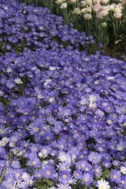 'Blue Shades' Grecian Windflower