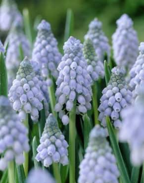 Latifolium Grape Hyacinth