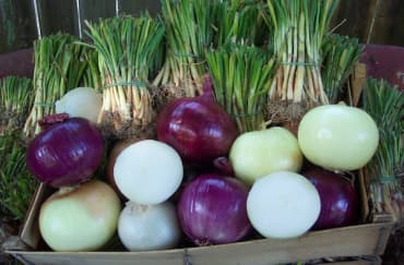Gardener's Onion Plant Medley