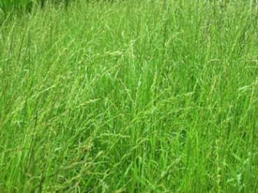 Ryegrass, Annual