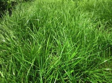 Ryegrass, Perennial