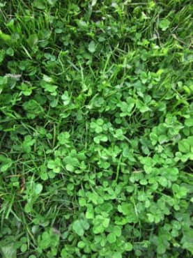 Grass Seed: CR Lawn Mix