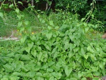 Caucasian Mountain Spinach