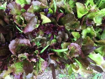 Red Carpet Lettuce Mix