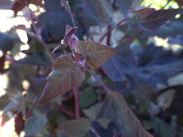 Purple Orach