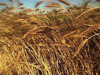 Black Eagle Spring Wheat