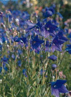 Florist Blue Balloon Flower