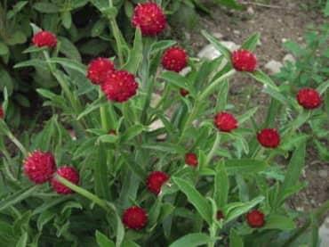 QIS Red Globe Amaranth