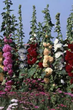 Chater's Double Mix Hollyhock