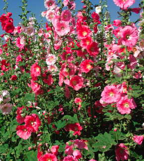Indian Spring Single Mix Hollyhock