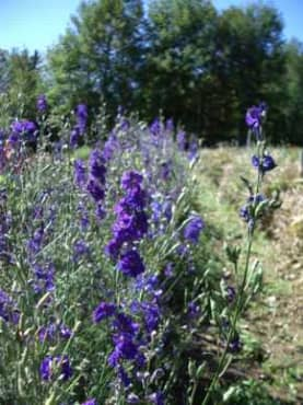 Giant Imperial Blue Spire Larkspur
