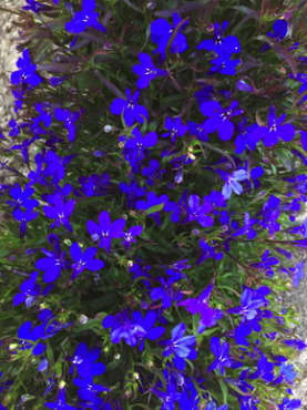 Crystal Palace Blue Lobelia