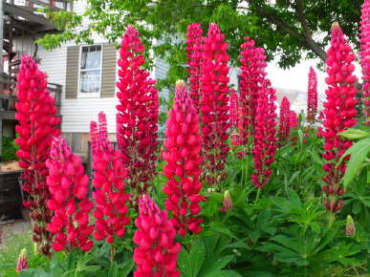 My Castle Red Russell Hybrid Lupine