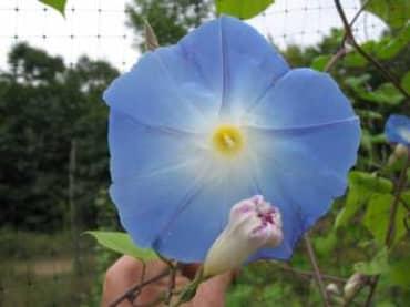 Clarke's Heavenly Blue