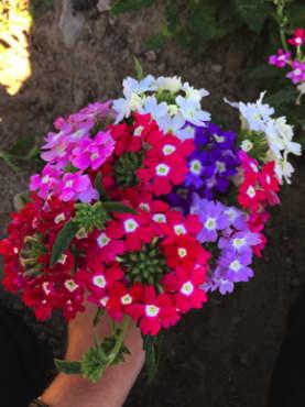 Ideal Florist Mix Verbena