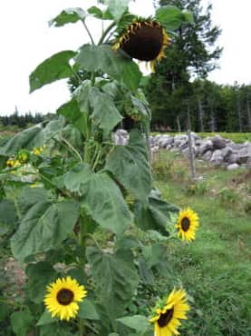 Hopi Black Dye Sunflower