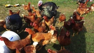 Chicken Scratch Clucktion