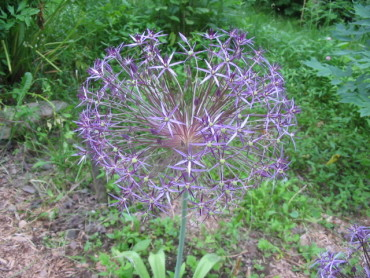 Star of Persia Flowering Onion
