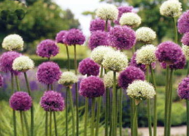 Wild About Alliums Mix