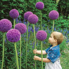 Giant Flowering Onion