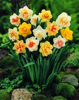 Mixed Doubles Narcissus Mix