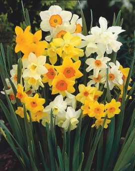 Rockgarden Narcissus Mix