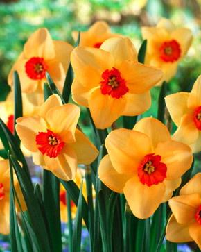 'Yellow Cheerfulness' Double
