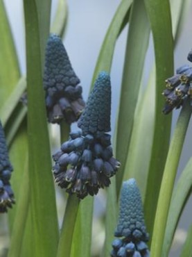 Giant Grape Hyacinth