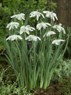Double Snowdrop