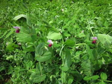 Peas, Field