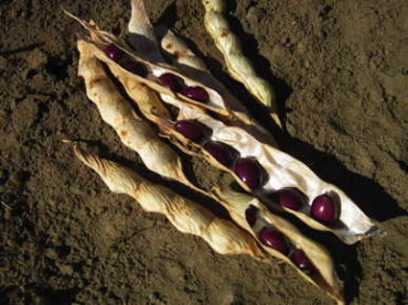 True Red Cranberry Pole Bean