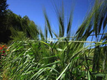 Utrecht Blue Spring Wheat
