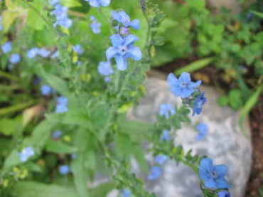 Firmament Chinese Forget-Me-Not