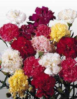 Reisen Giant Superb Carnation Mix