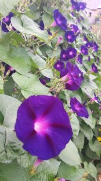 Kniola's Purple