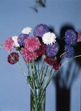 QIS Formula Mix Pincushion Flower
