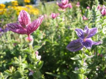 Tricolor Salvia
