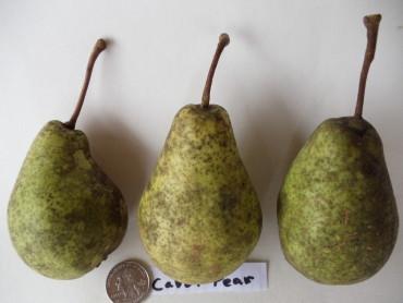Prunus cerasifera Myrobalan