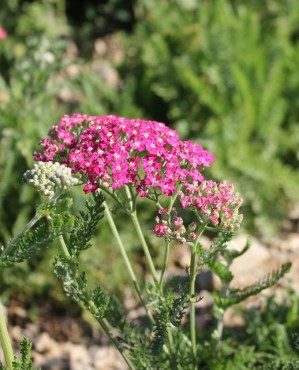 'Summer Berries' Yarrow