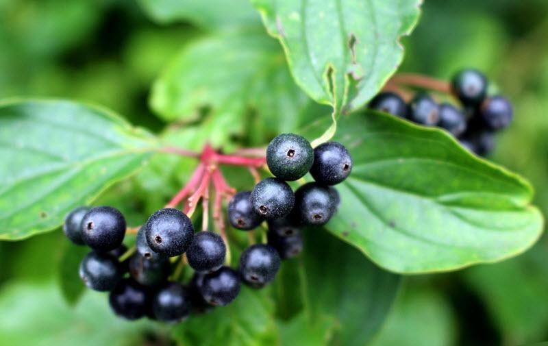 Black Elderberries - The Health Benefits of Elderberry