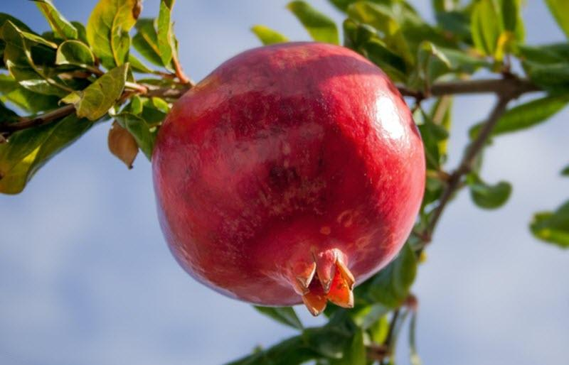 Red ripe pomegranate on a tree