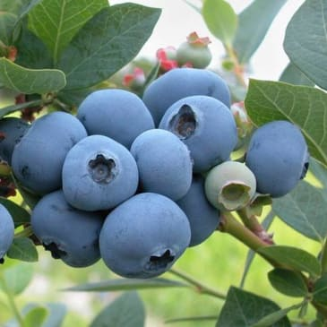 Proven Health Benefits of Blueberries