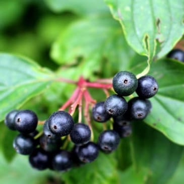 The Health Benefits of Elderberry