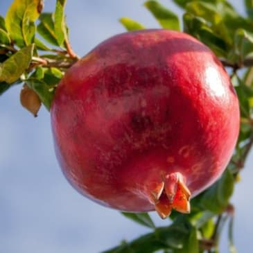 The Health Benefits of Pomegranate