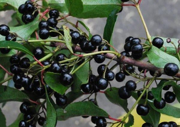 Wild Maqui Berries