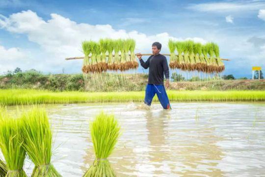 Cambodian rice farmer