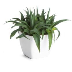 Aloe Vera i potte H:17cm