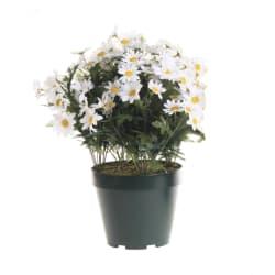 Plante margeritt hvit 40cm
