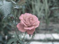 Hazan gülleri
